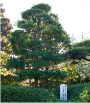 黐(もち)の木